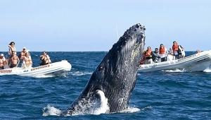 Se desborda avistamiento de ballenas; habrá más de 400 embarcaciones con permiso